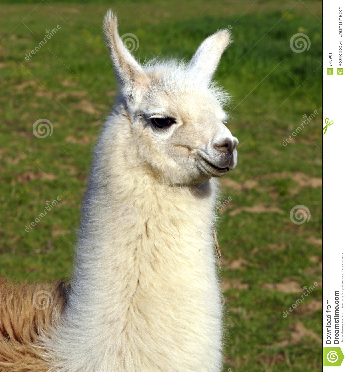 Llama High Quality Background on Wallpapers Vista