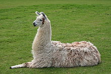 Llama Backgrounds on Wallpapers Vista