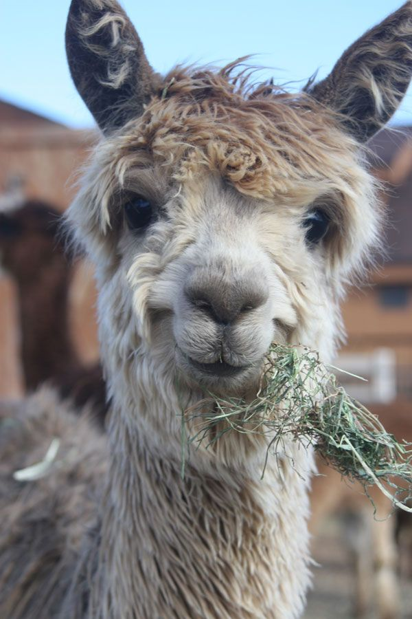 Amazing Llama Pictures & Backgrounds