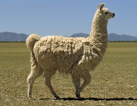 Nice Images Collection: Llama Desktop Wallpapers