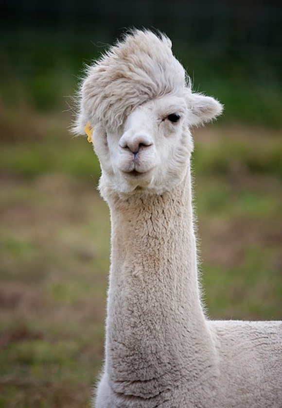Nice Images Collection: Llama Desktop Wallpapers