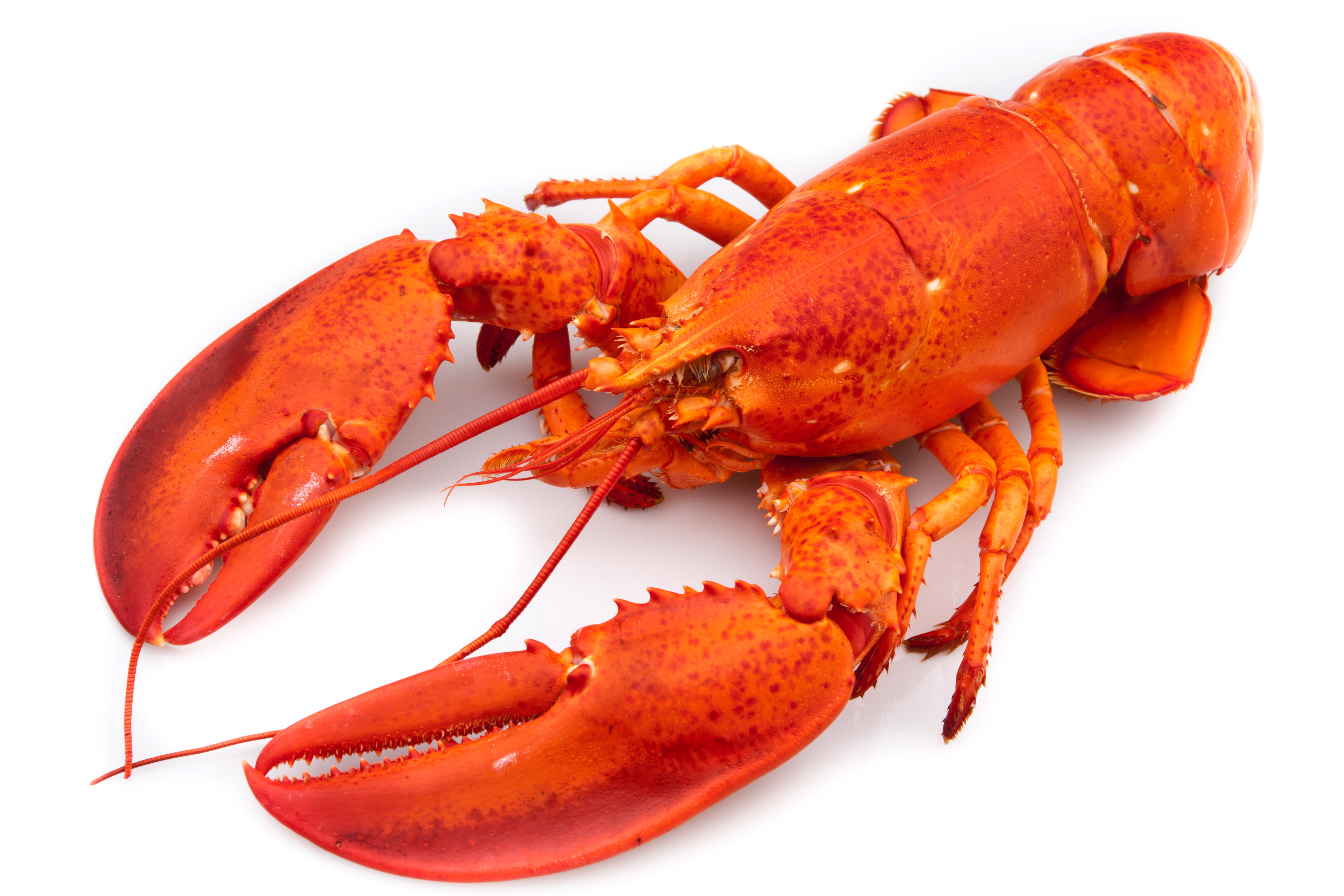 Lobster Backgrounds, Compatible - PC, Mobile, Gadgets| 4272x2848 px
