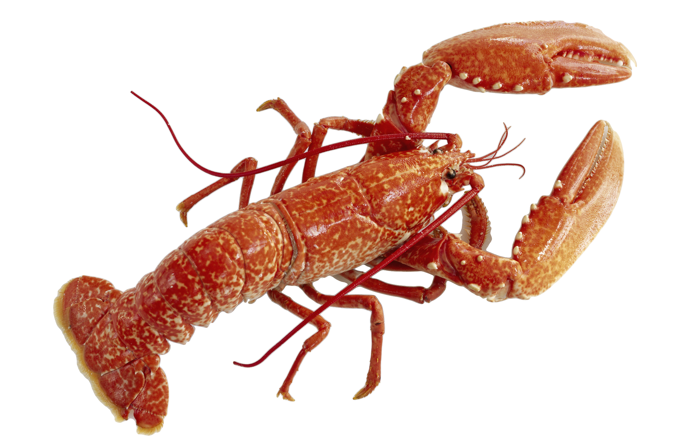 Lobster HD wallpapers, Desktop wallpaper - most viewed