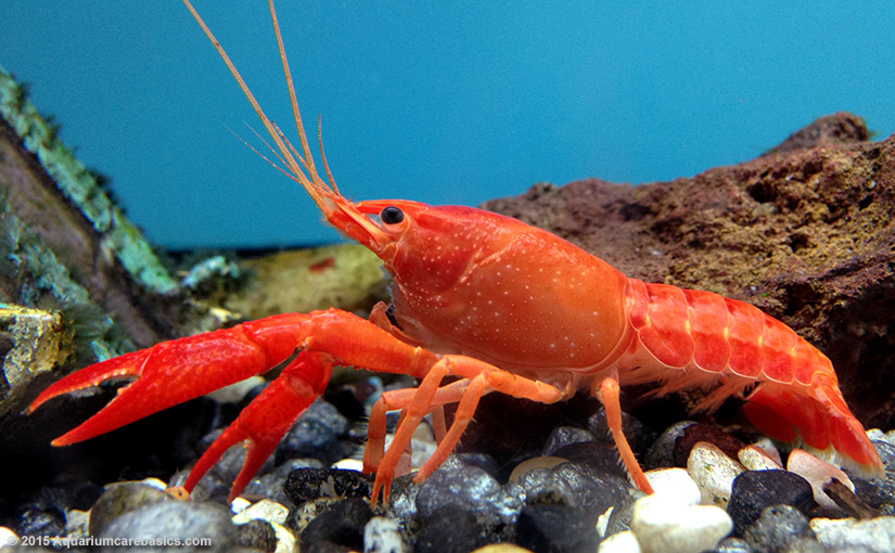 Nice wallpapers Lobster 825x510px