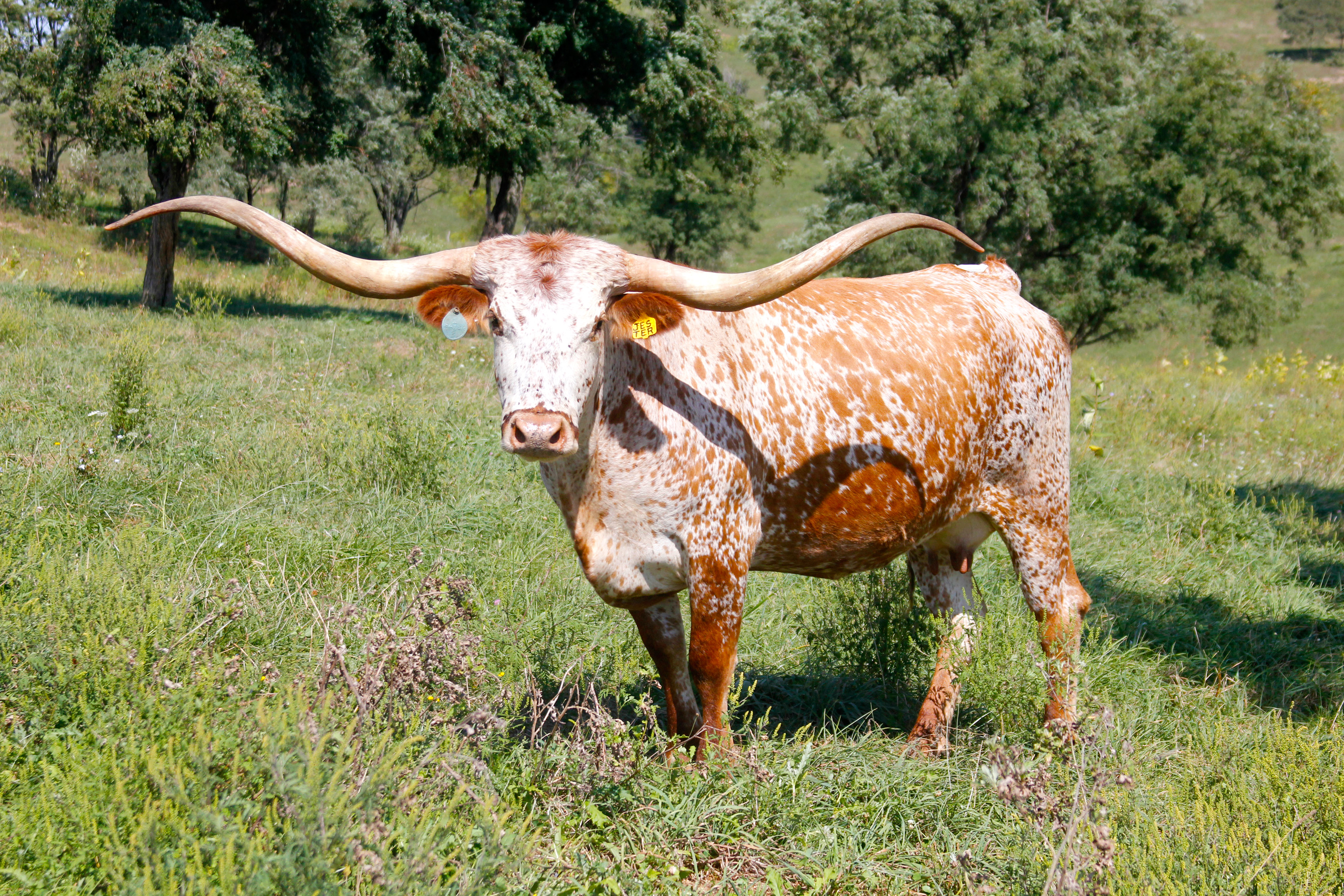 Images of Longhorn Cattle | 3000x2000