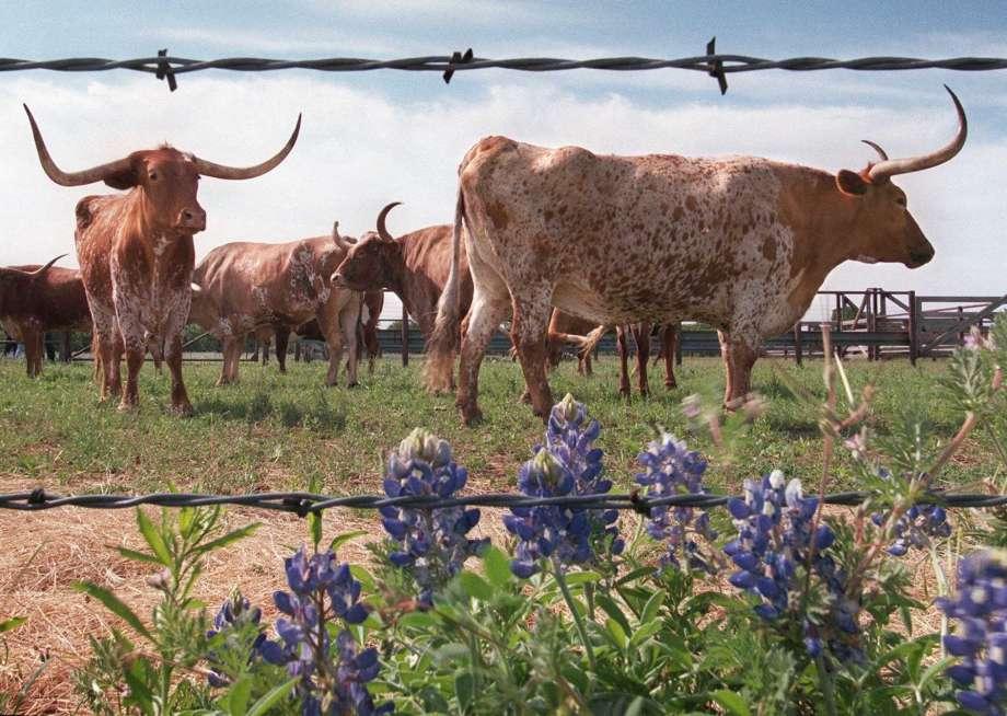 Longhorn Cattle Backgrounds, Compatible - PC, Mobile, Gadgets  920x654 px