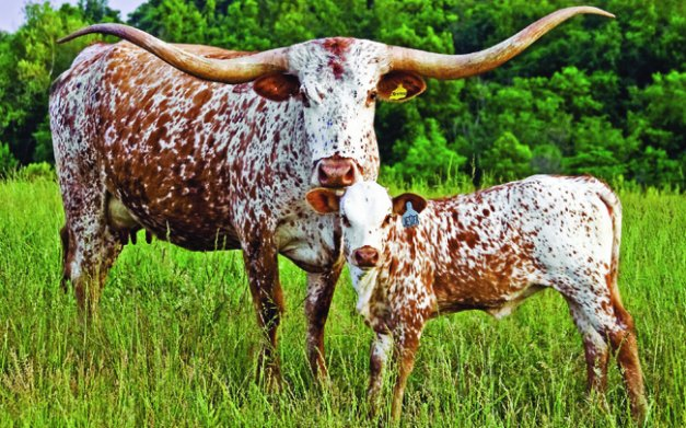 Images of Longhorn Cattle | 627x391