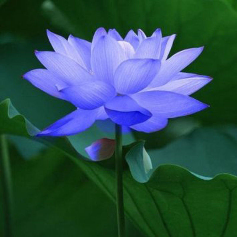Lotus High Quality Background on Wallpapers Vista