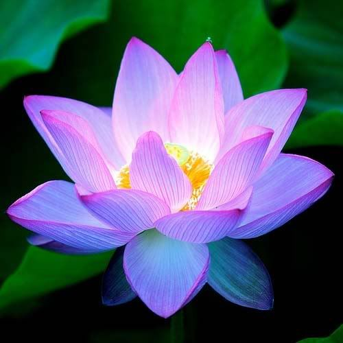 Amazing Lotus Pictures & Backgrounds