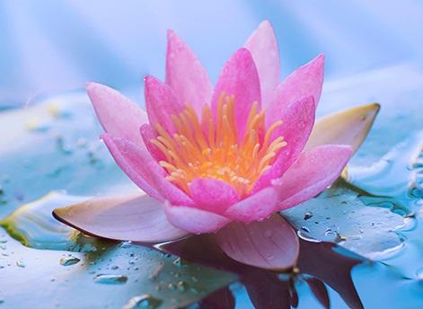 Lotus Backgrounds, Compatible - PC, Mobile, Gadgets  471x344 px