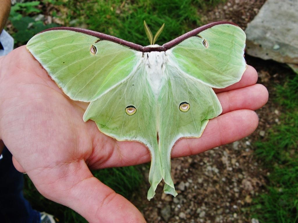 Luna Moth Pics, Animal Collection