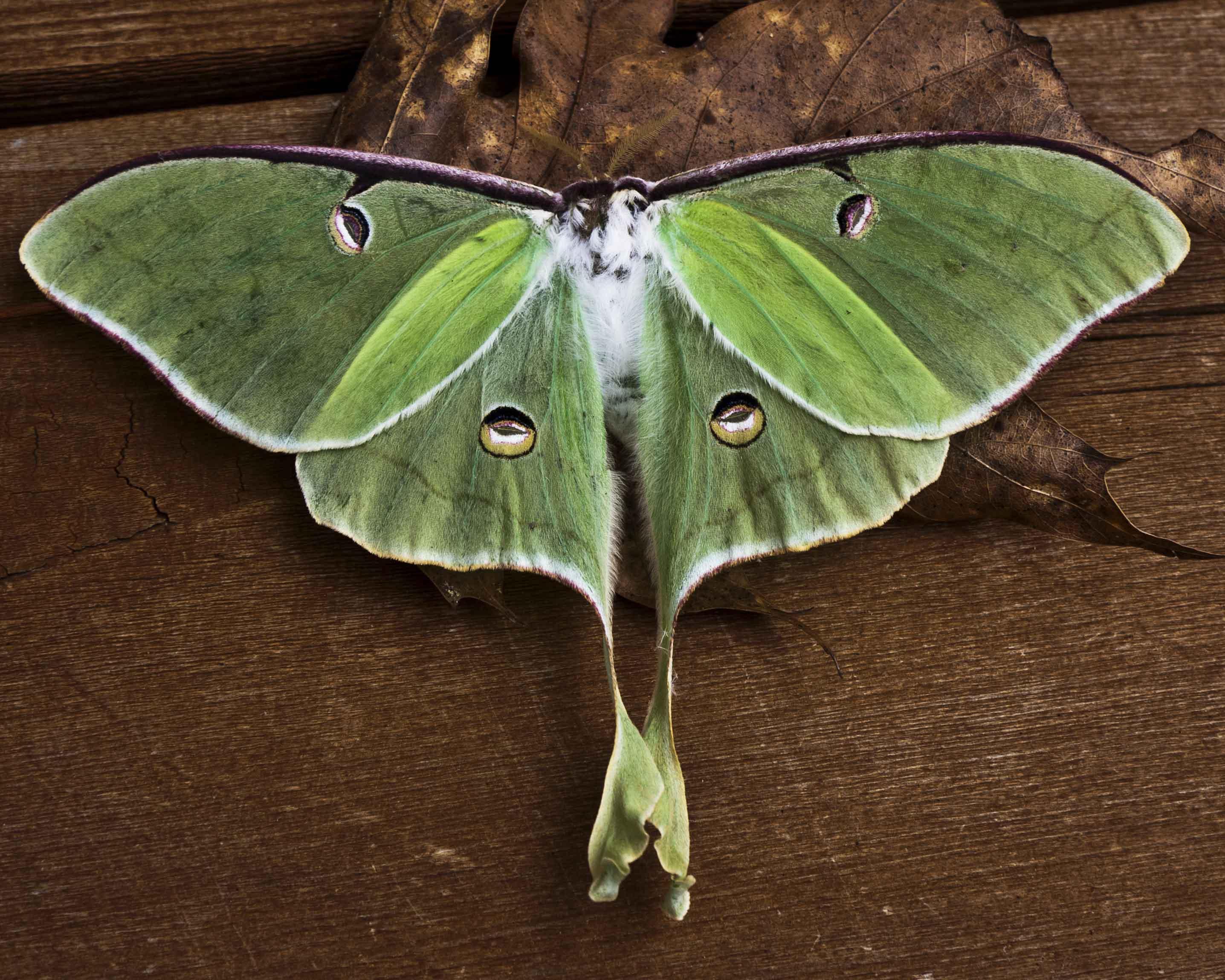 Nice wallpapers Luna Moth 2873x2299px