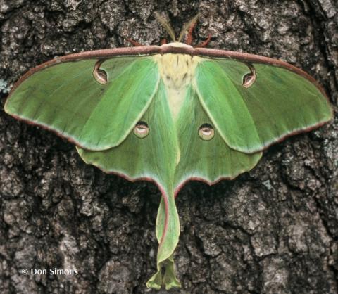 Nice wallpapers Luna Moth 480x418px