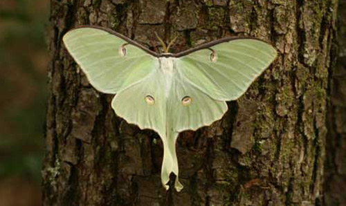 Images of Luna Moth | 500x298