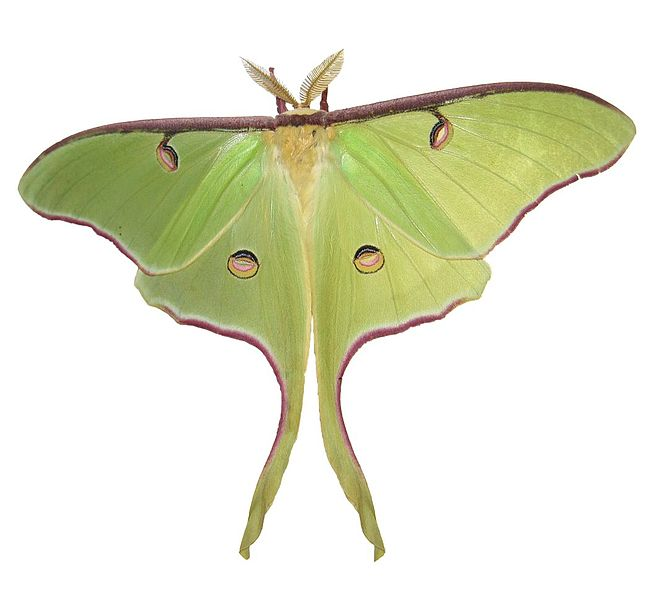 HQ Luna Moth Wallpapers | File 34.76Kb