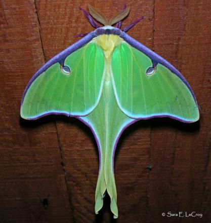 Nice wallpapers Luna Moth 417x440px