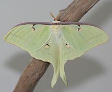 Luna Moth HD wallpapers, Desktop wallpaper - most viewed