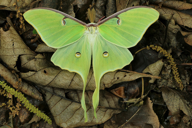 Luna Moth High Quality Background on Wallpapers Vista