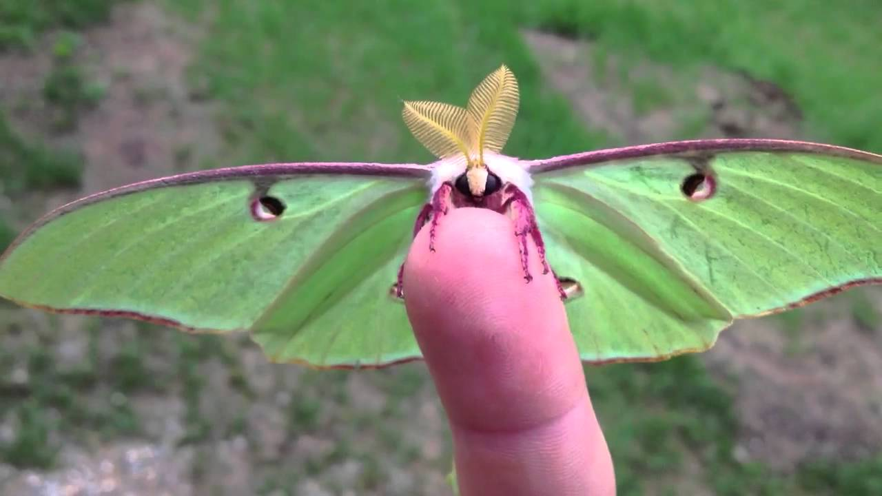 Amazing Luna Moth Pictures & Backgrounds