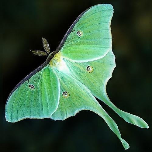Luna Moth Backgrounds, Compatible - PC, Mobile, Gadgets| 500x500 px