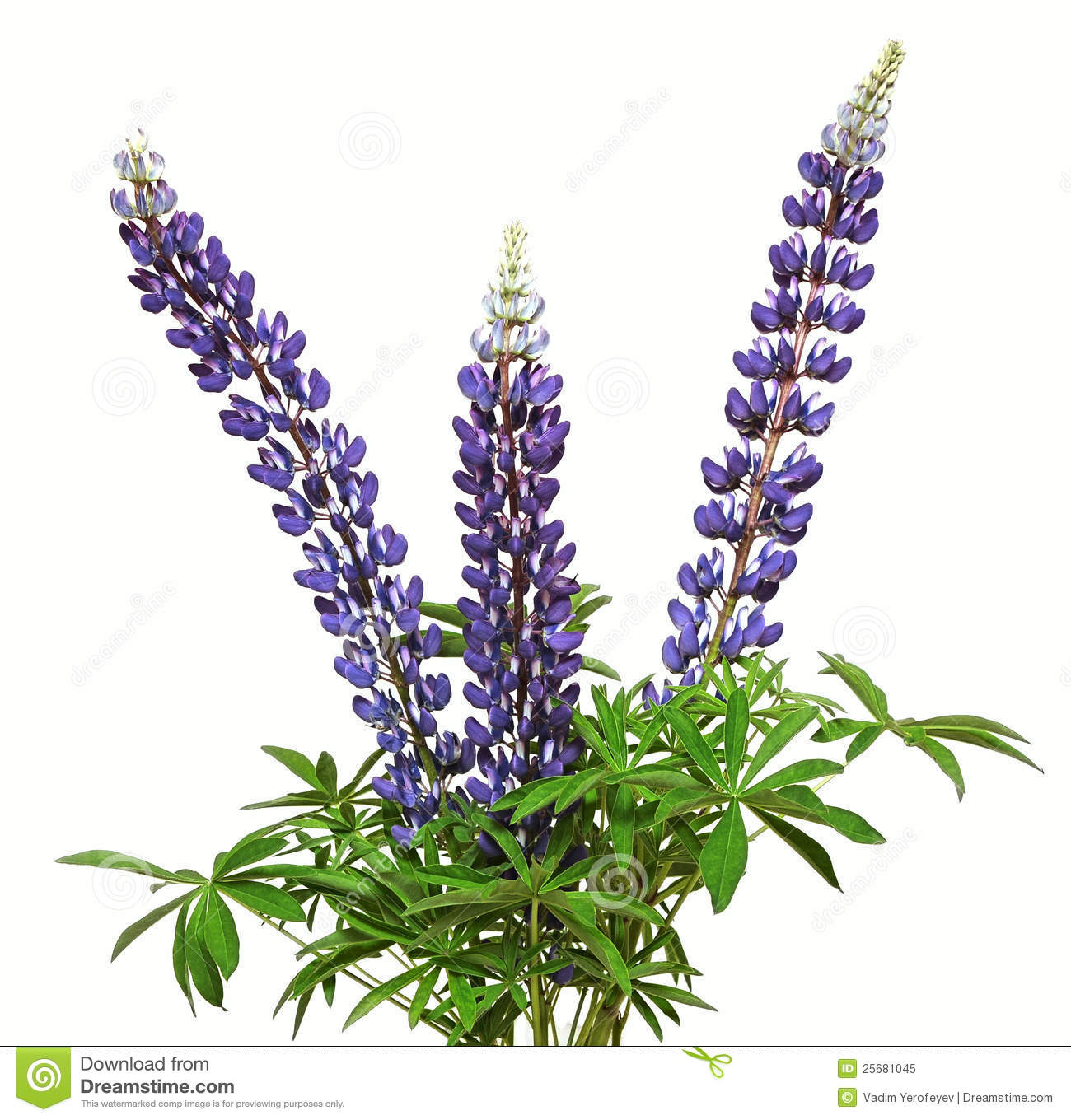 High Resolution Wallpaper | Lupine 1300x1360 px