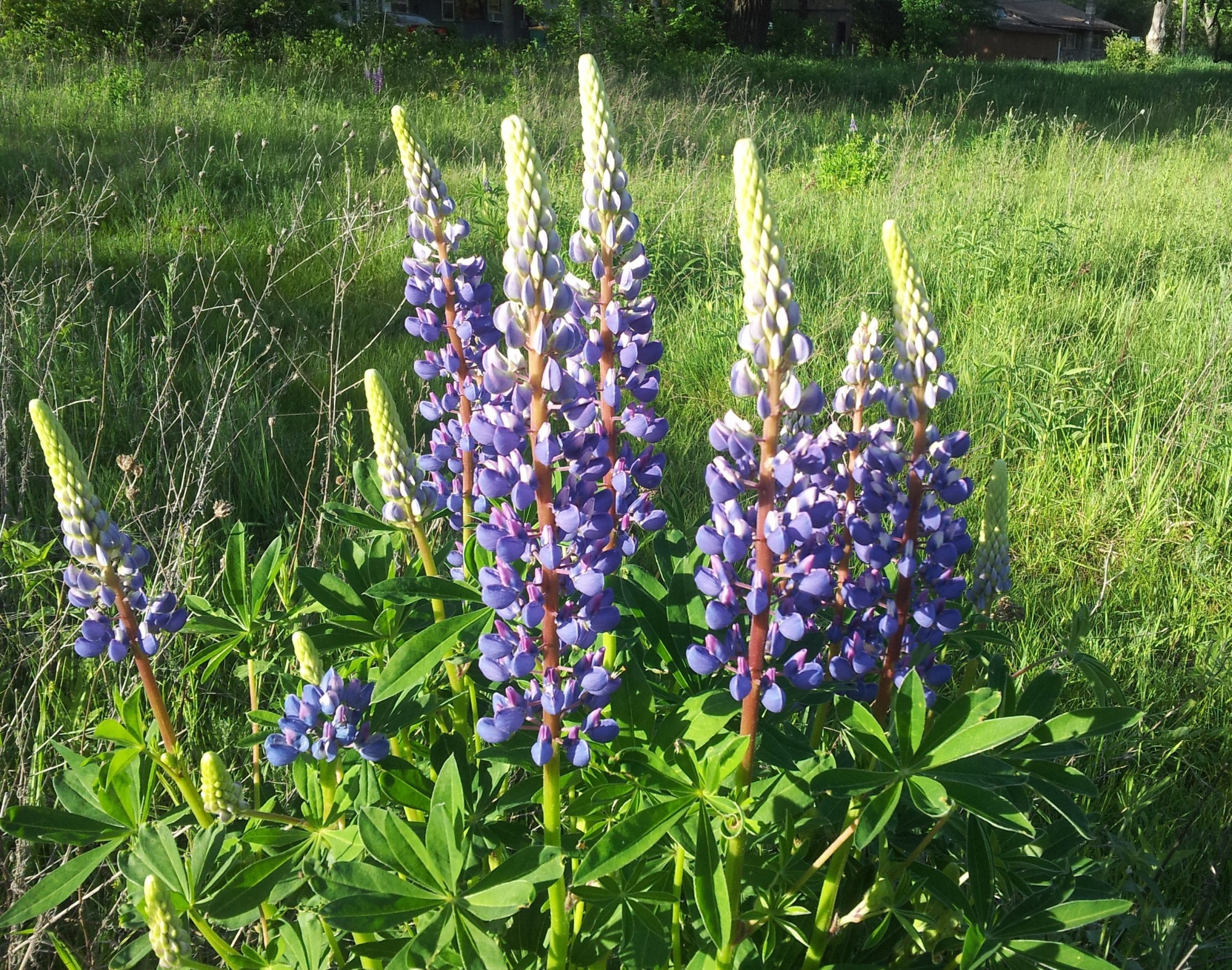 Lupine Pics, Earth Collection