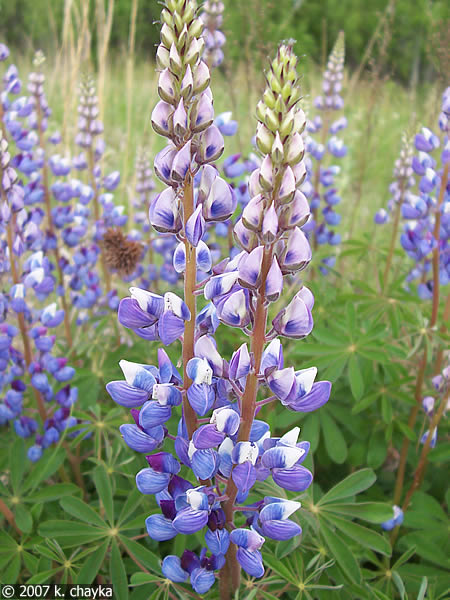 High Resolution Wallpaper | Lupine 450x600 px