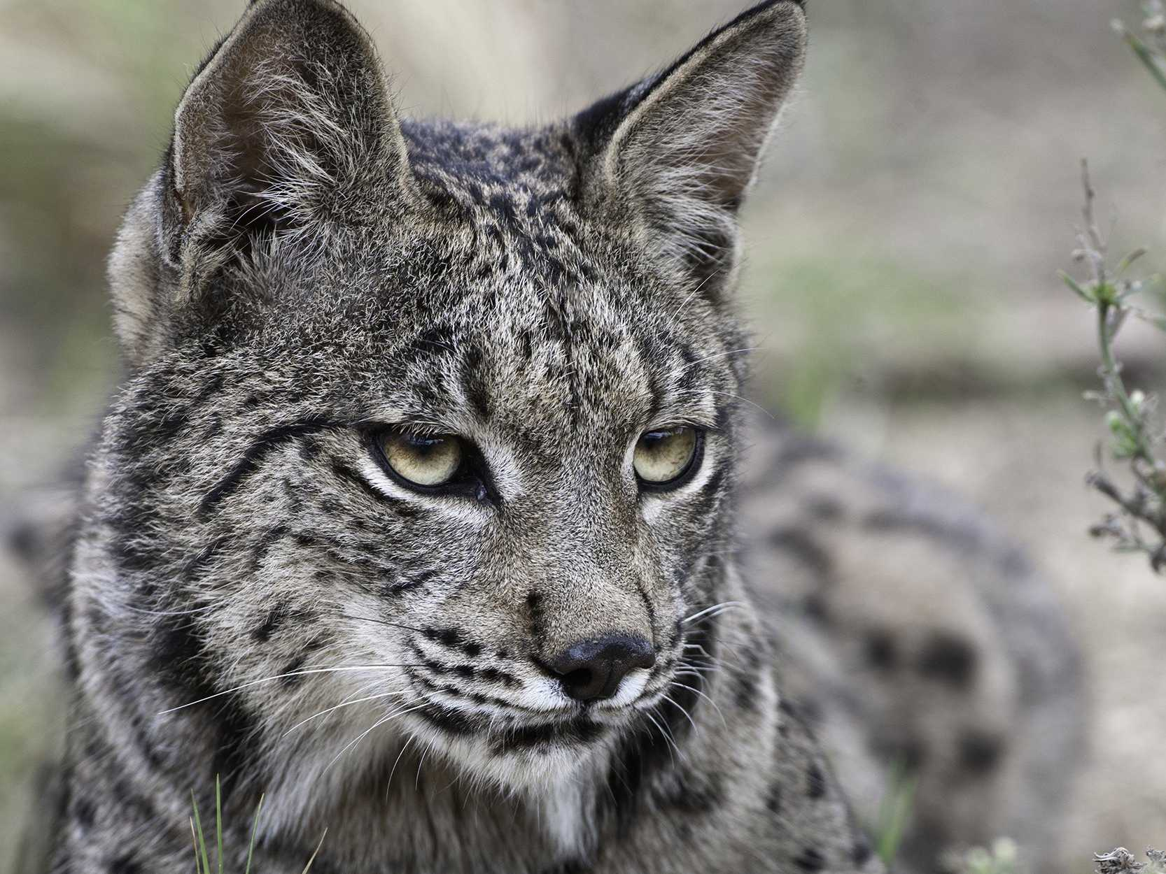 Amazing Lynx Pictures & Backgrounds