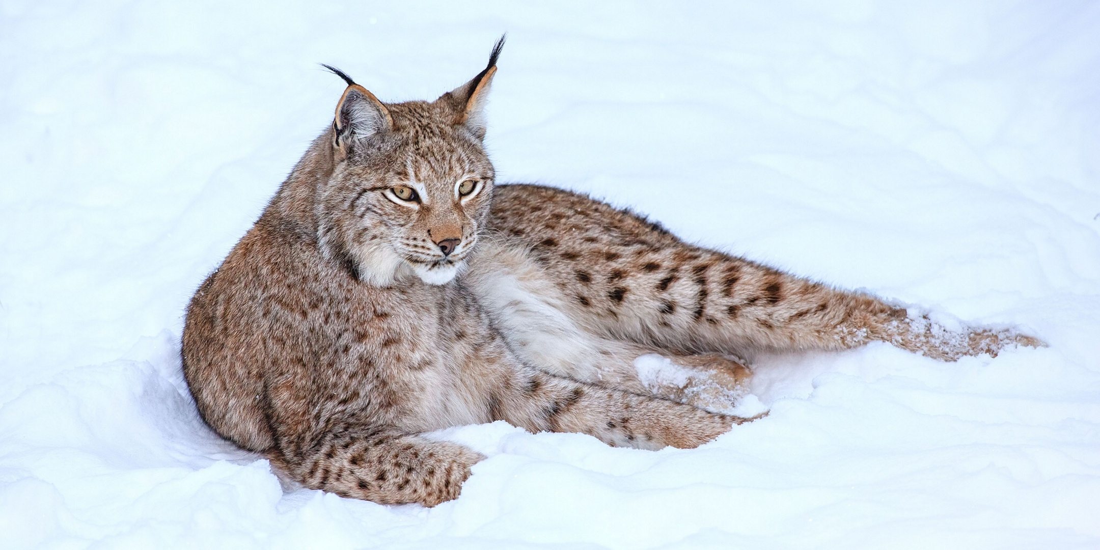Nice Images Collection: Lynx Desktop Wallpapers