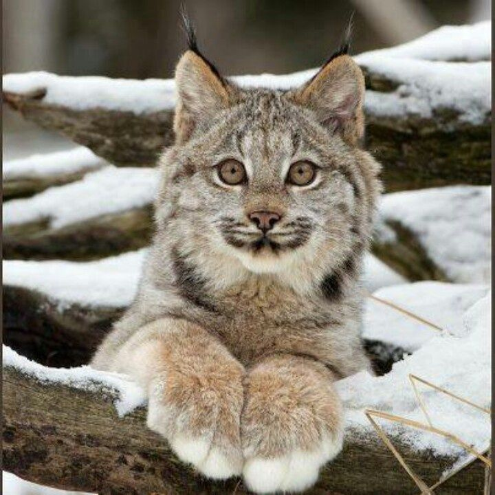 Nice wallpapers Lynx 720x720px