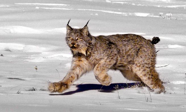 654x396 > Lynx Wallpapers