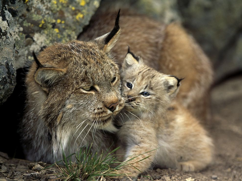 Images of Lynx | 989x742