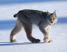 HD Quality Wallpaper | Collection: Animal, 220x173 Lynx