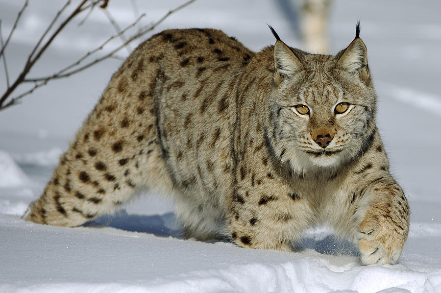 Lynx High Quality Background on Wallpapers Vista