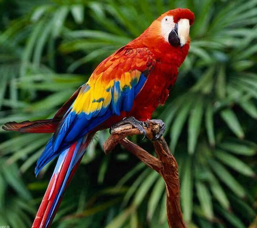 HD Quality Wallpaper | Collection: Animal, 900x800 Macaw