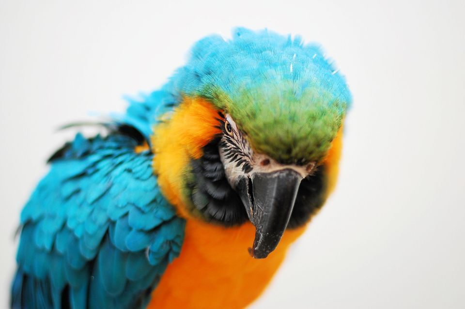 Nice Images Collection: Macaw Desktop Wallpapers