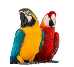 Nice wallpapers Macaw 300x272px