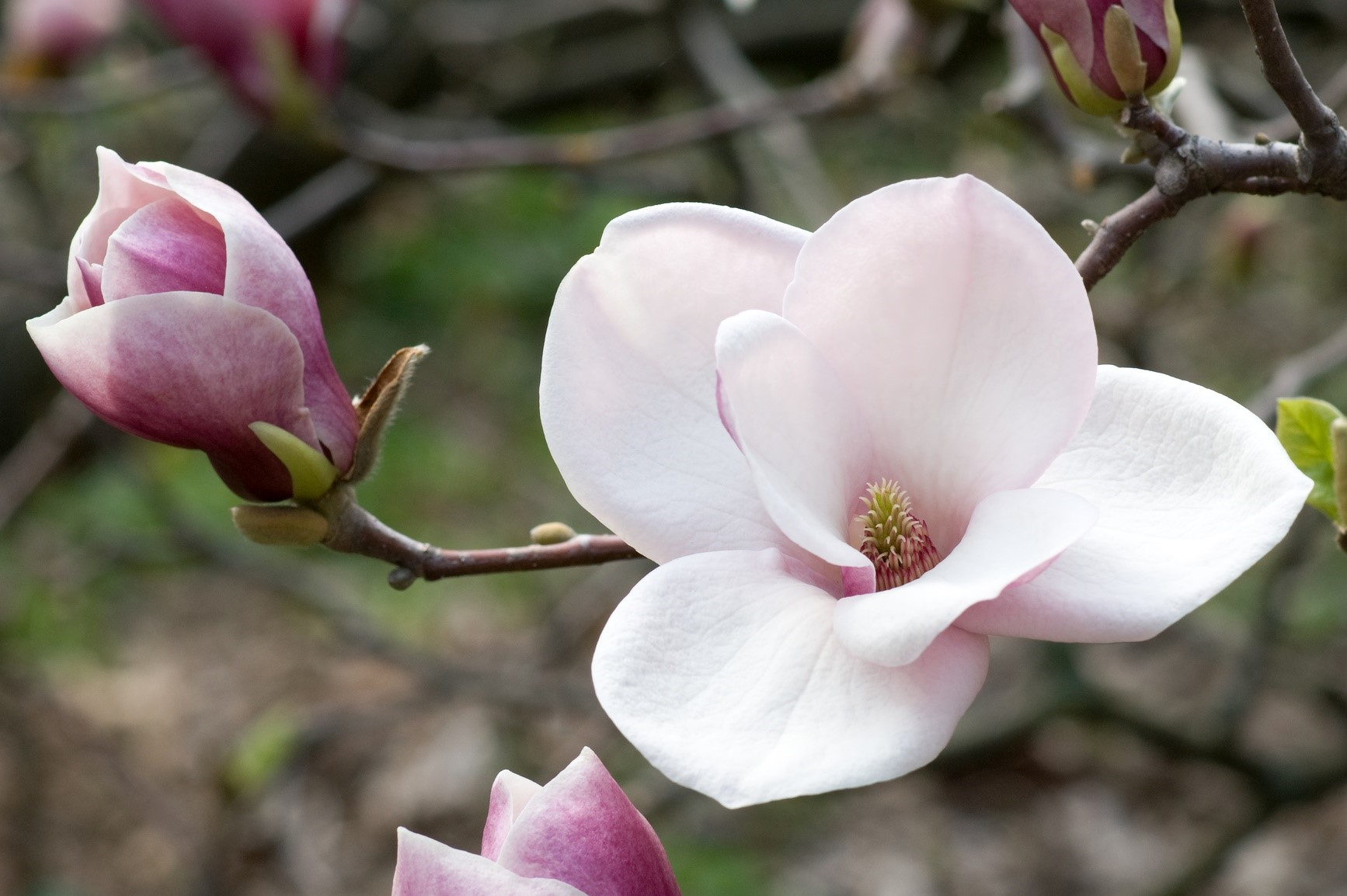 High Resolution Wallpaper | Magnolia 1734x1154 px