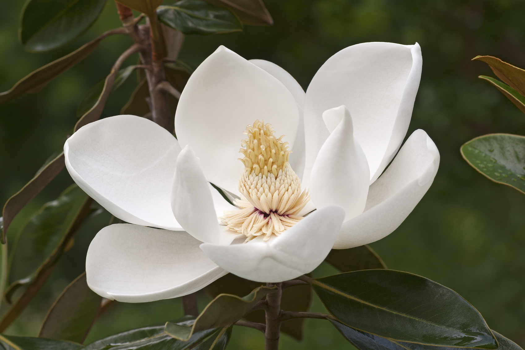 High Resolution Wallpaper | Magnolia 1697x1131 px