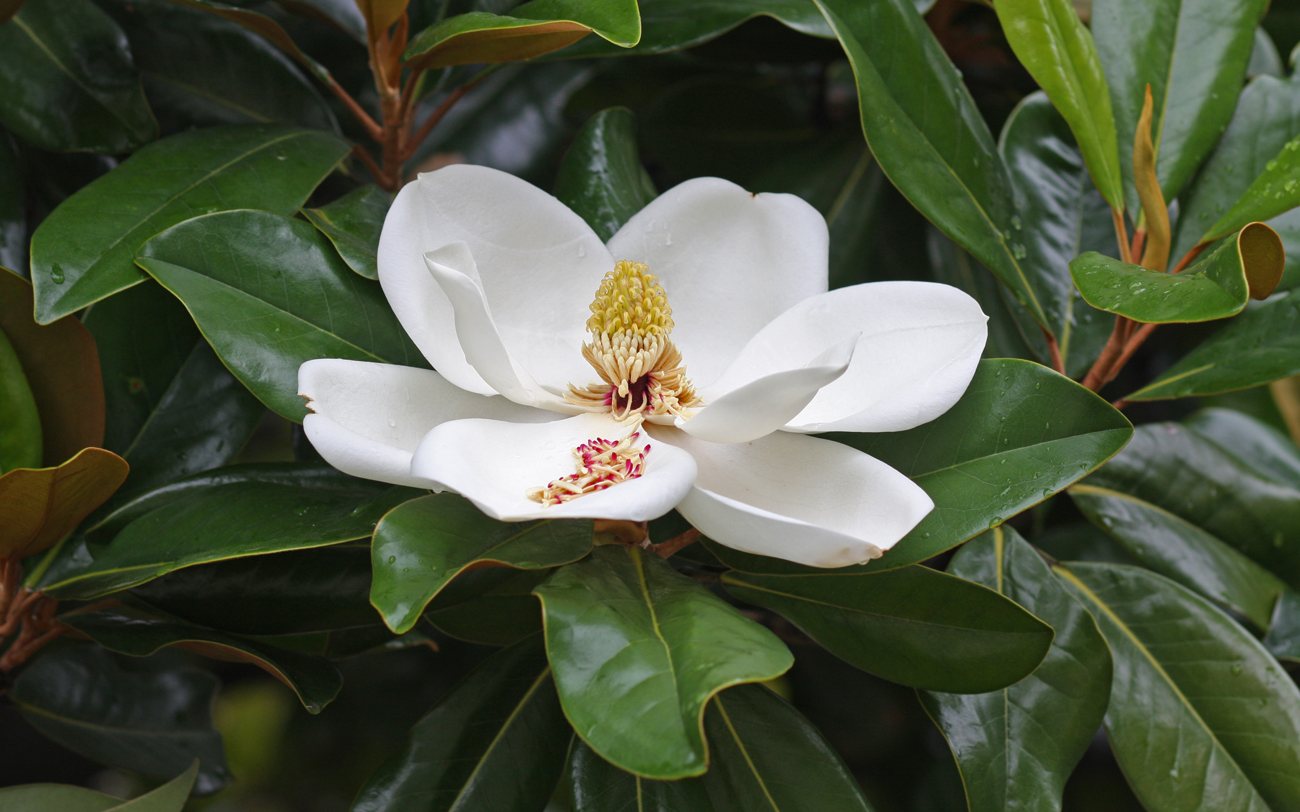 Magnolia High Quality Background on Wallpapers Vista