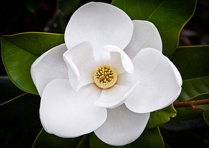 Magnolia Backgrounds, Compatible - PC, Mobile, Gadgets| 425x300 px