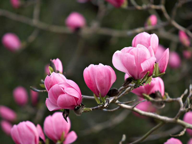 Images of Magnolia | 800x600