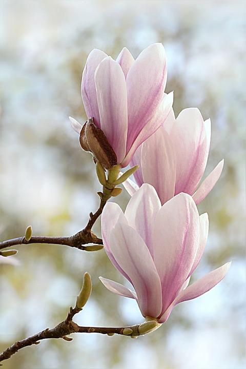 Nice Images Collection: Magnolia Desktop Wallpapers