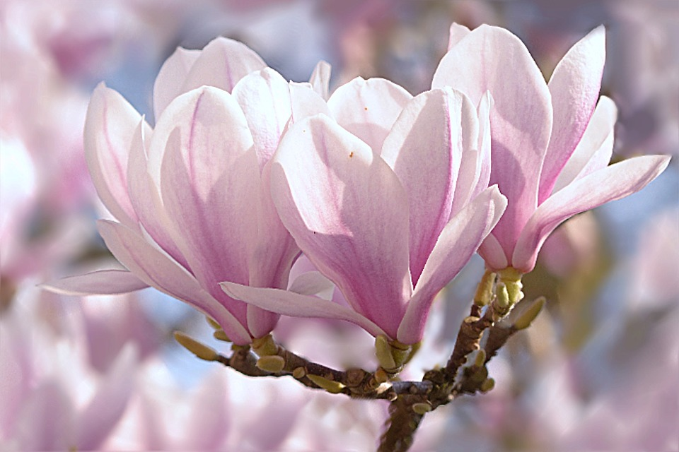 Magnolia Backgrounds on Wallpapers Vista