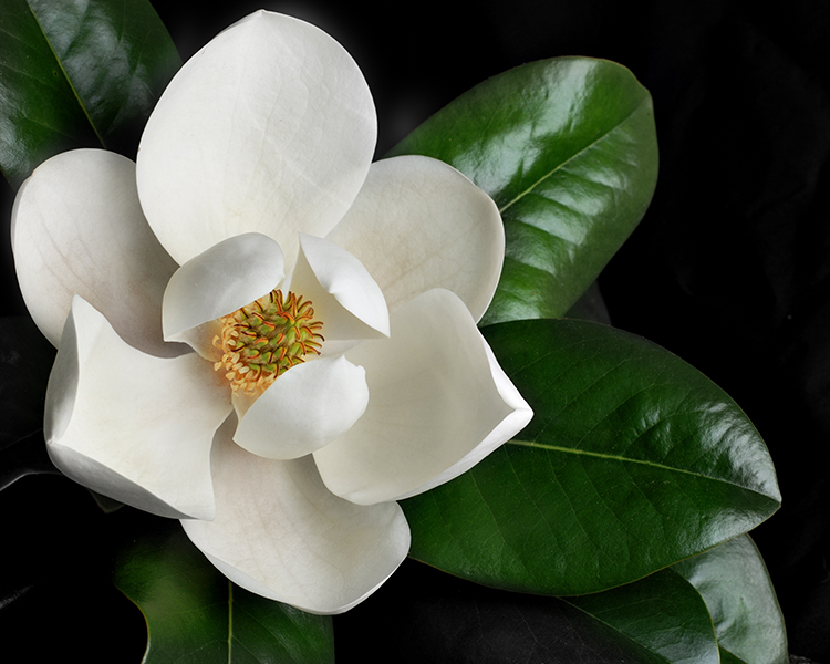 Images of Magnolia | 750x600