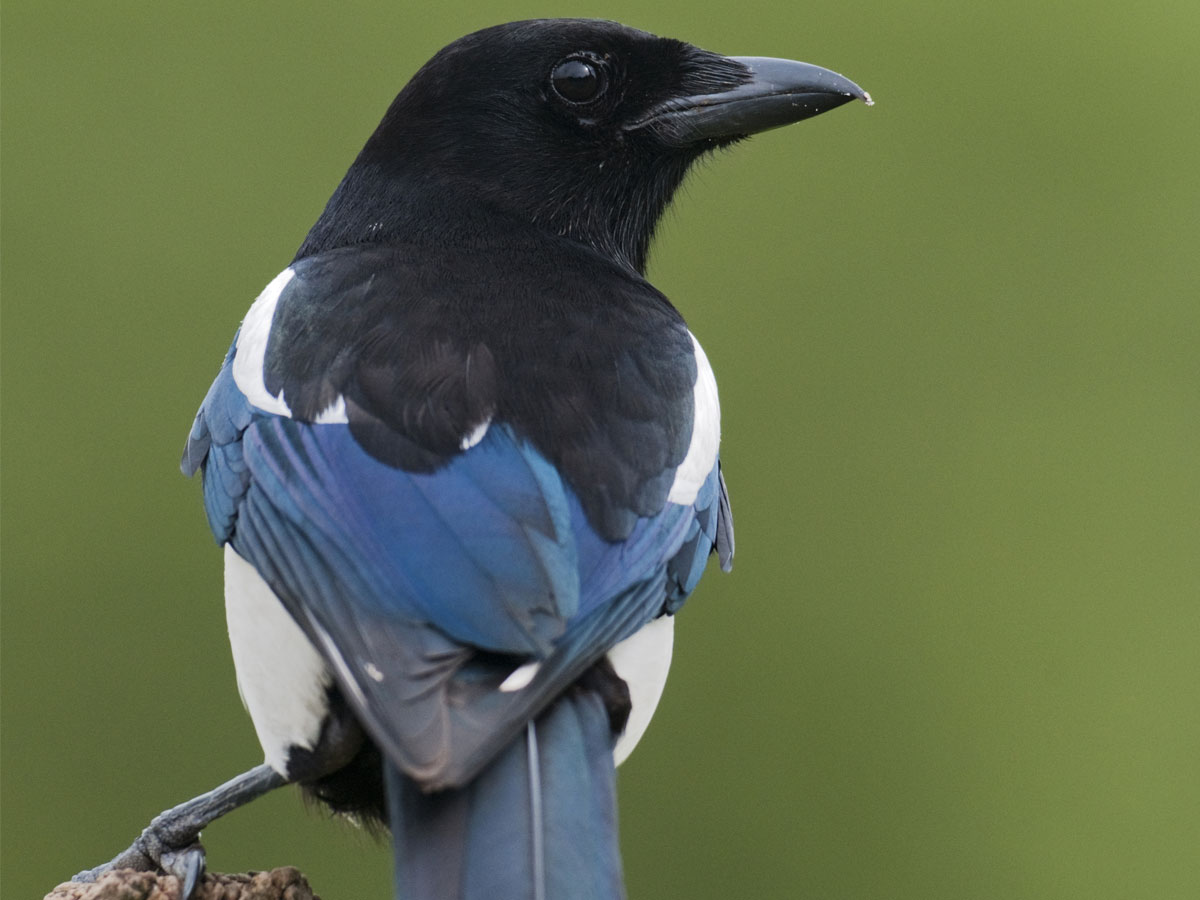 Magpie High Quality Background on Wallpapers Vista