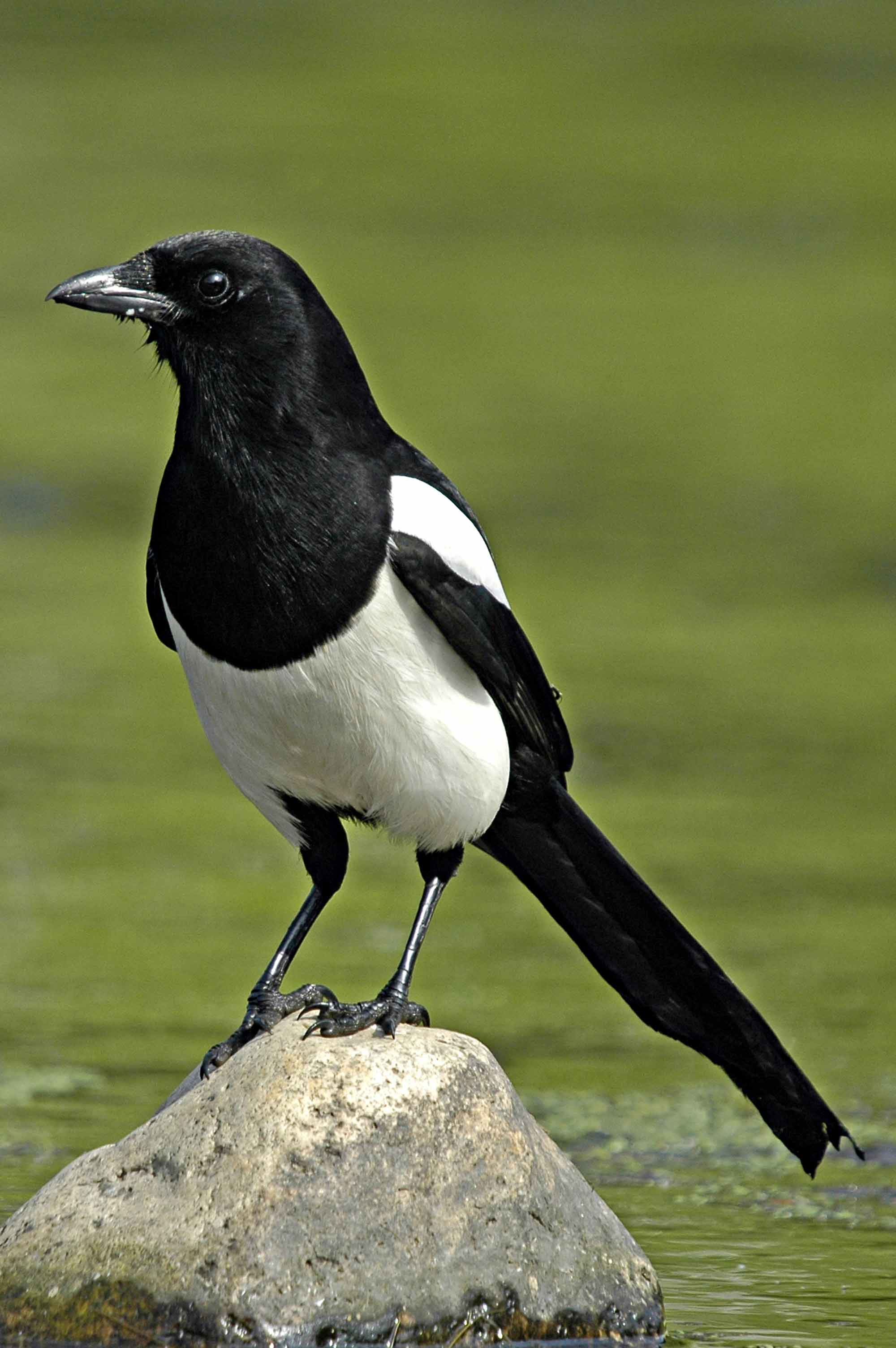 Images of Magpie | 2000x3008
