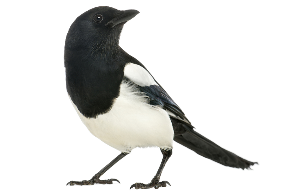 Nice Images Collection: Magpie Desktop Wallpapers