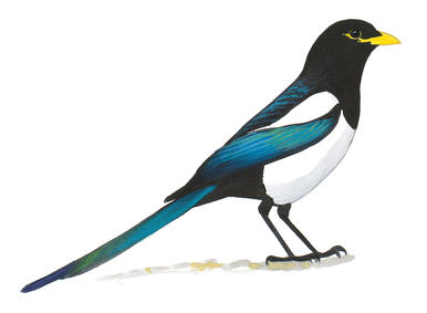 Magpie Backgrounds on Wallpapers Vista