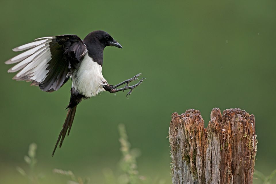 Amazing Magpie Pictures & Backgrounds